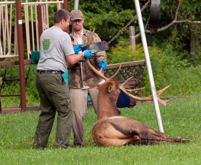 Elk Rescue img19_large1