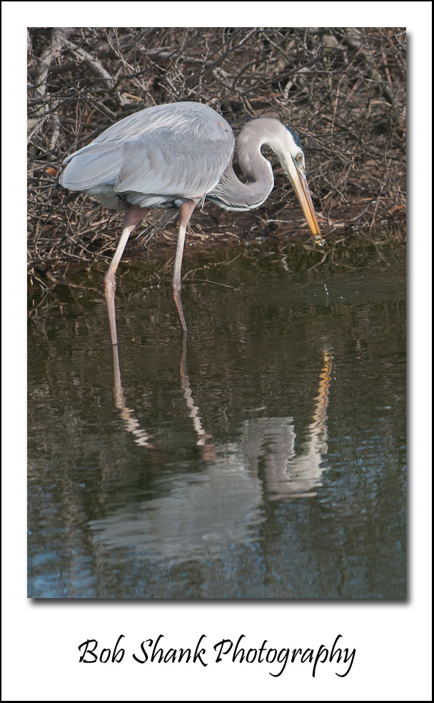 Great Egret On Prowl >> Chincoteague Bob Shank Photography